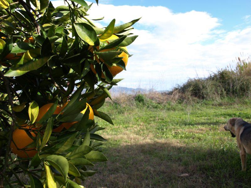 Aristos Orangen