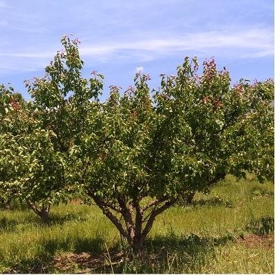 Aprikosenbaum in Mykenen Griechenland