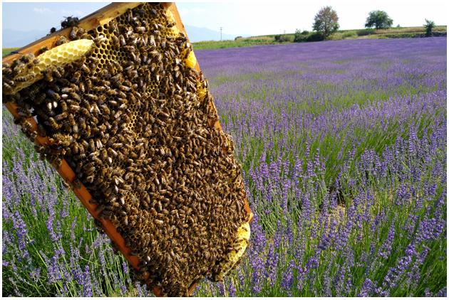 Bienen Lavendelblüten