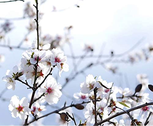 Mandel Blüte