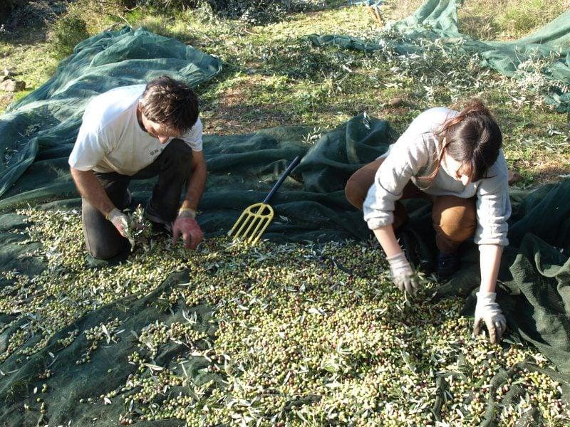 Koroneiki Olivenernte