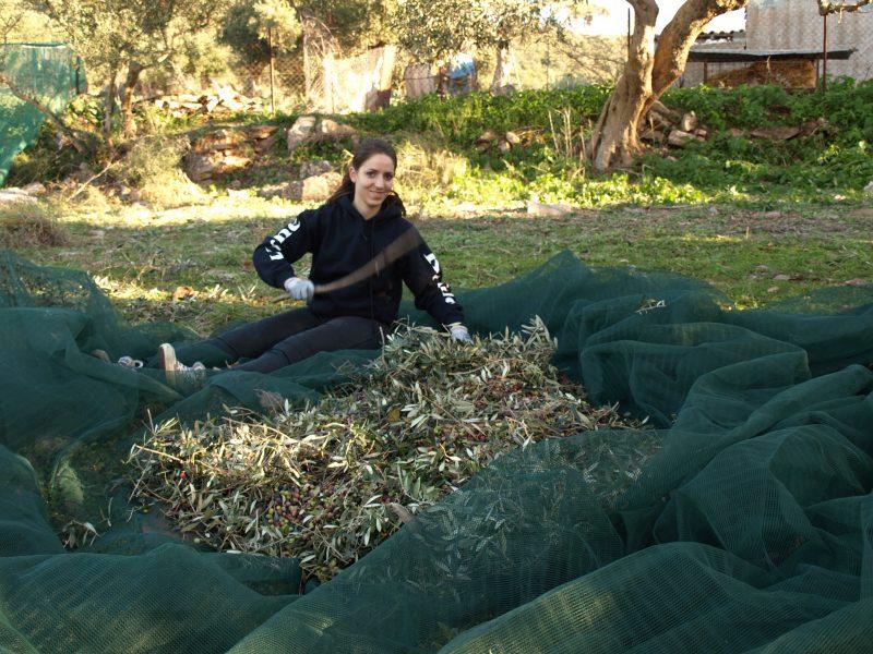 Koroneiki Oliven Netz