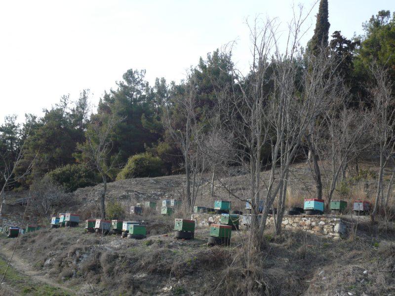 Thassos Pinienwälder